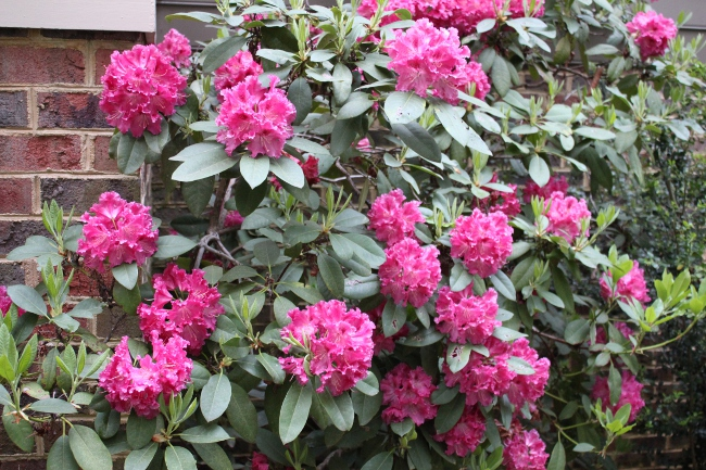Rhododendron in bloom.  The only downside of our garden is that everything blooms at the same time in early spring!  Wish we could spread this out a bit more.