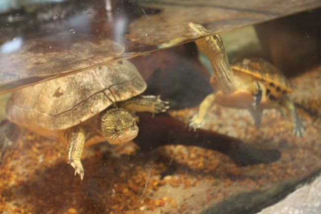 This is called a chicken turtle and has a really long neck.