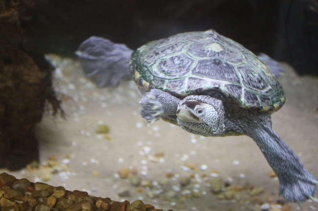 This is a Diamondback Terrapin, well-known to University of Maryland fans.