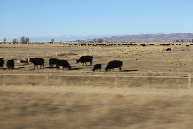 2013-12-17-wyoming-cows3