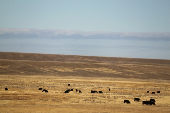 2013-12-17-wyoming-cows4