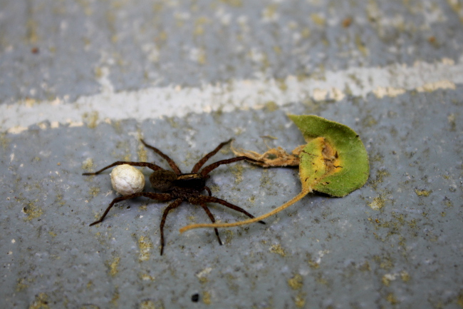 Summer is a busy time for everyone.  I came across this busy spider in my garden toting its egg sac.