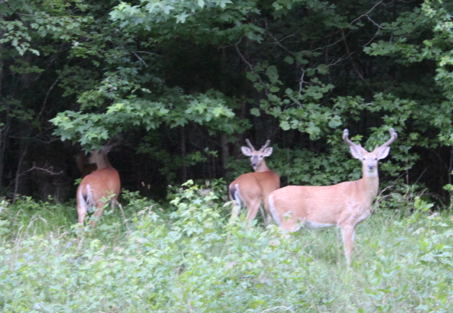 These guys were hanging out in our front yard one evening.  It is unusual to see so many bucks together.