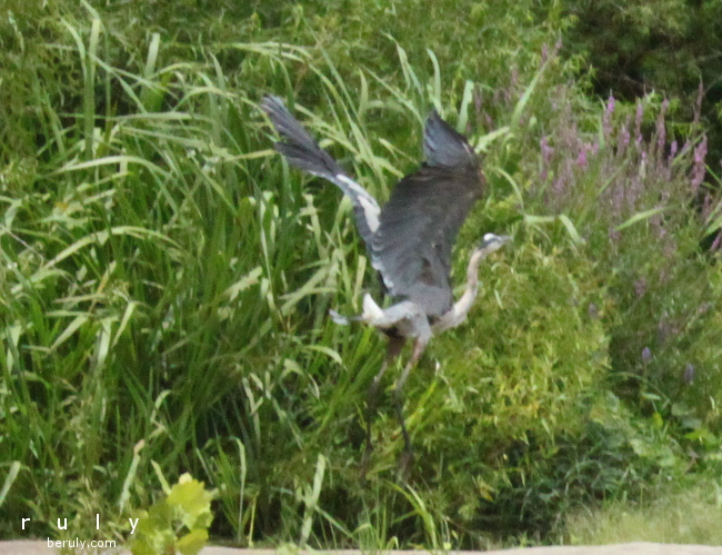 Herons are some of my favorite birds.  It was a treat to see one at such close distance.