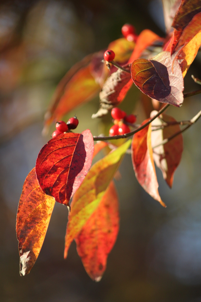 The dogwood leaves are some of the most colorful right now, paired with their red fall berries.