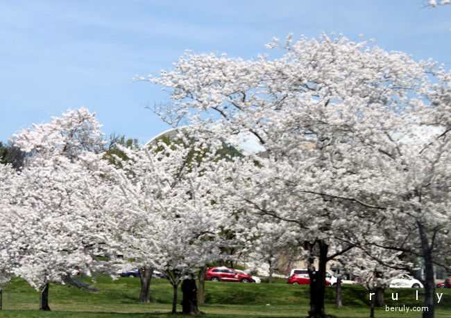 Cherry blossoms in DC.