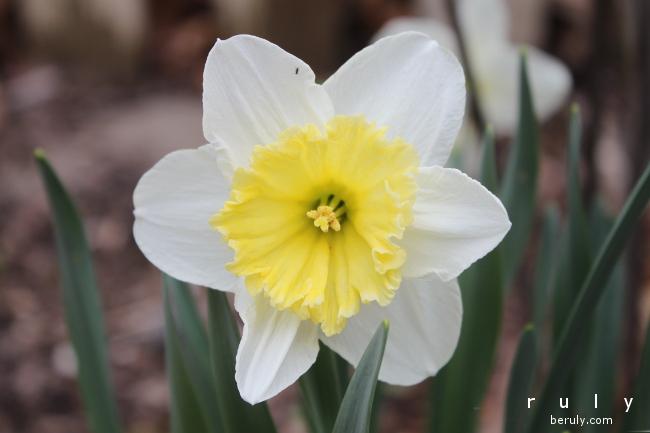 2015-06-02-daffodil-IMG_4928